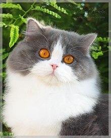 british longhair
