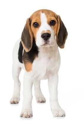 caractere beagle