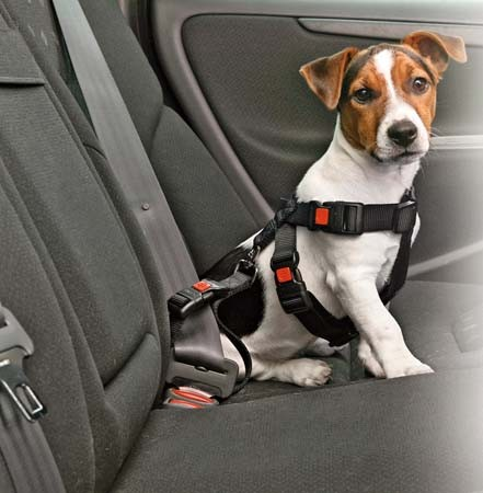 ceinture chien voiture