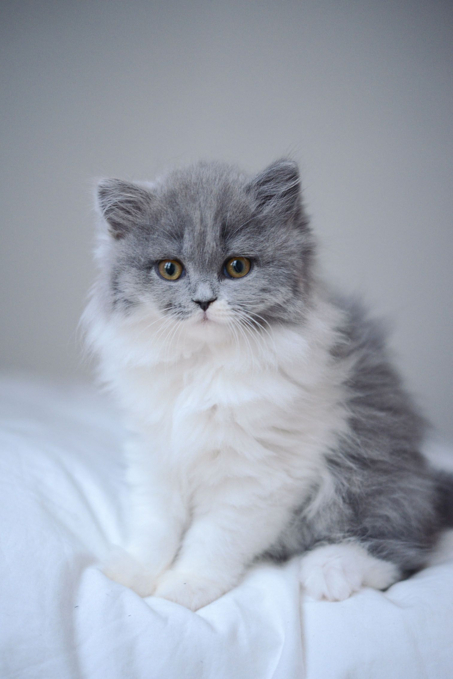 chat british longhair